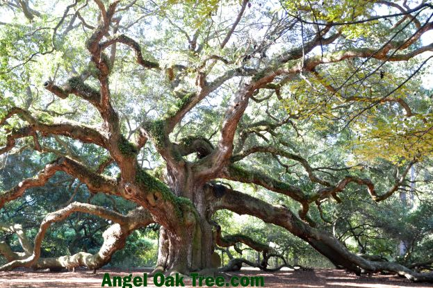 AngelOakTree11